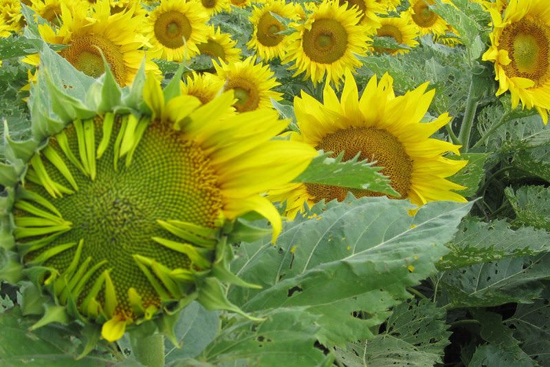 UC Davis study: Sunflowers move by the clock