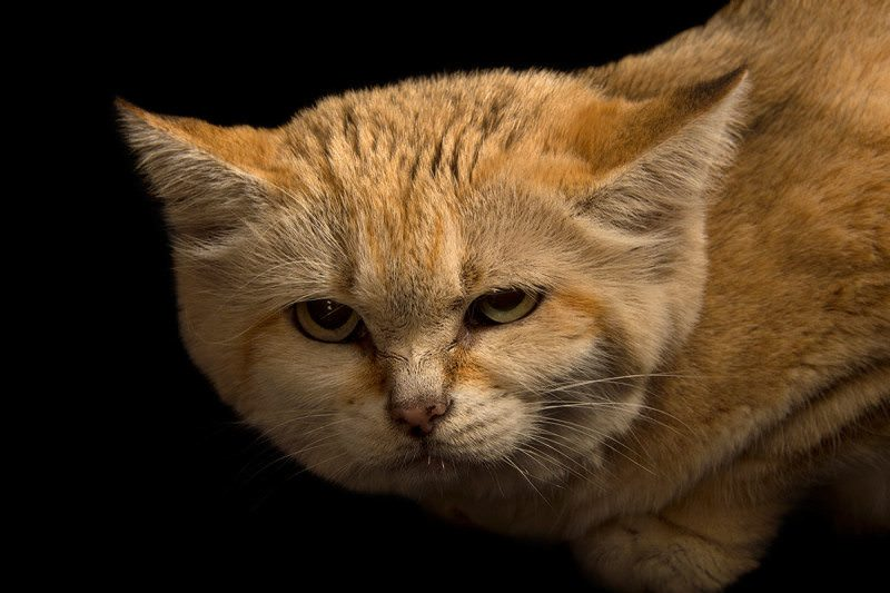 a sandy coloured cat looking pissed off, in close up