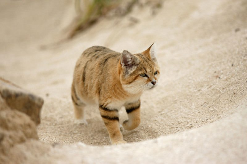 A cat walking along in the desert  cute  sandy coloured with some stripes on New Scientist