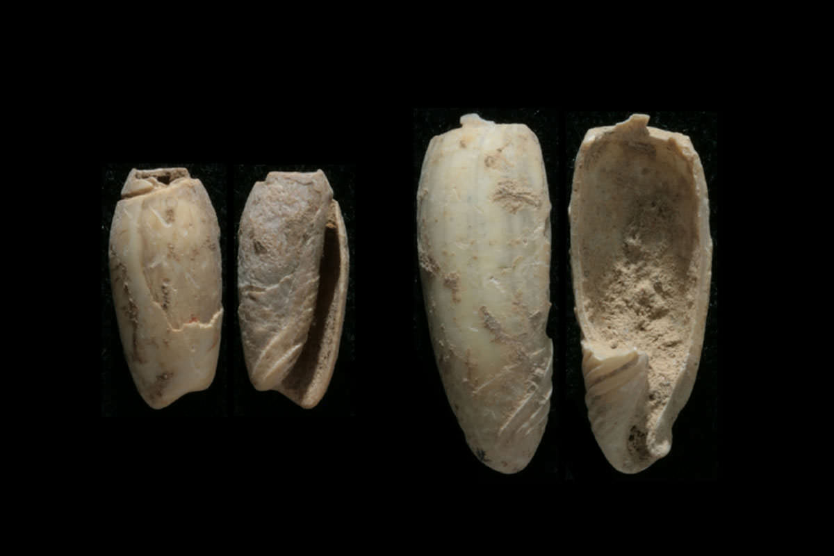 Two views of two shell beads from Jerimalai, one 9000 years old, the other 37,000 years old