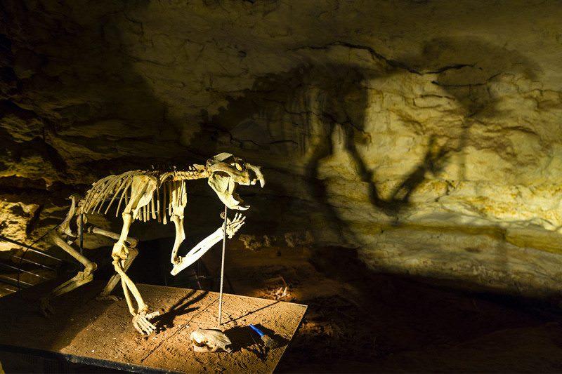 Thylacoleo carnifex skeleton