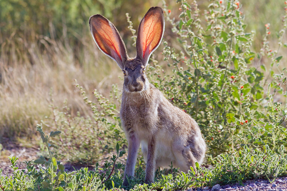 Mexican jackrabbit
