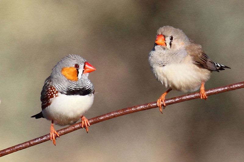 Birds sing to their unborn chicks to warn them about hot ...