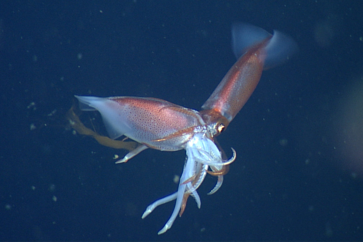 Gonatus squid eating another squid