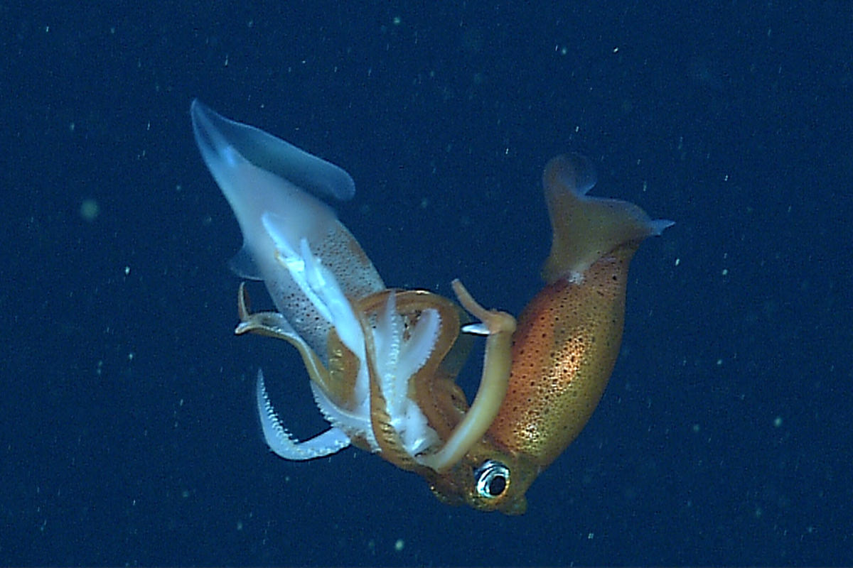 A Gonatus squid eating another squid