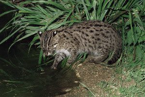 A fishing cat in captivity