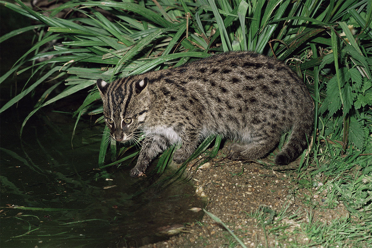 The mission to find the world s rarest cat in jungles of for The fishing cat