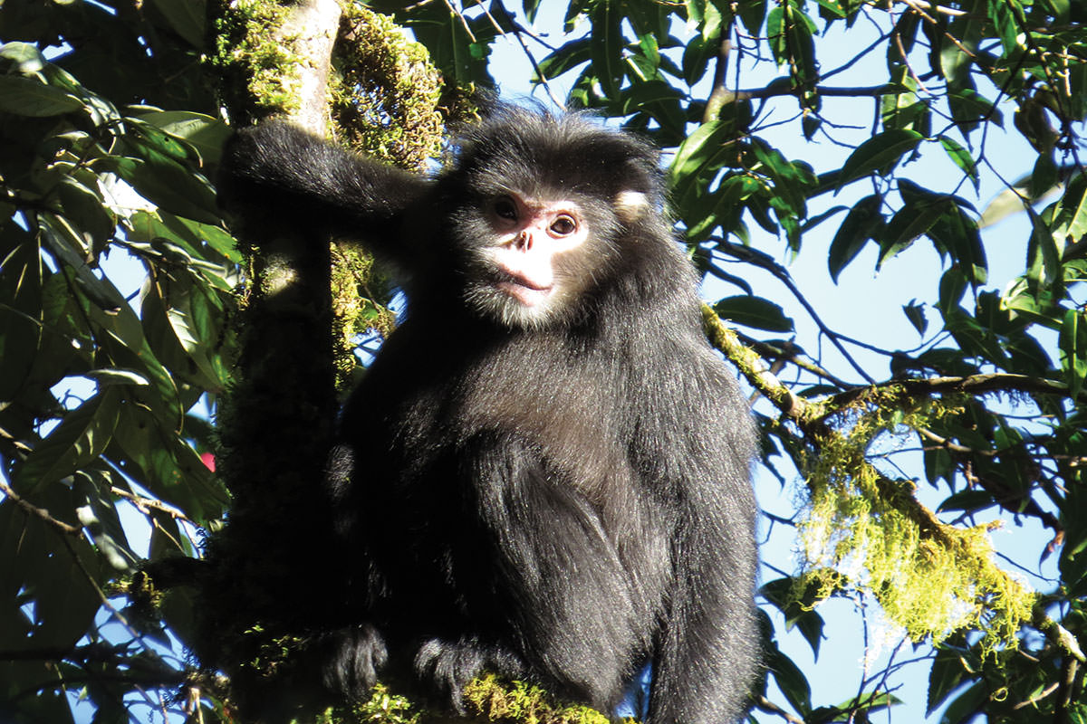 DNA clues: Myanmar snub-nosed monkey