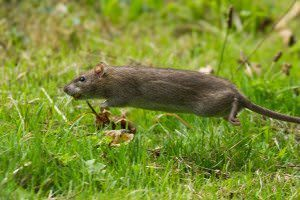 a rat moving fast - all its legs off the grass. it looks very purposeful