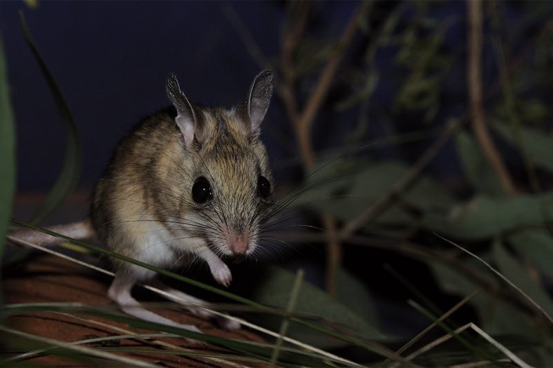 a spinifex hopping mouse - big-eyed marsupial with hoppy legs - in the dark, looking a bit worried