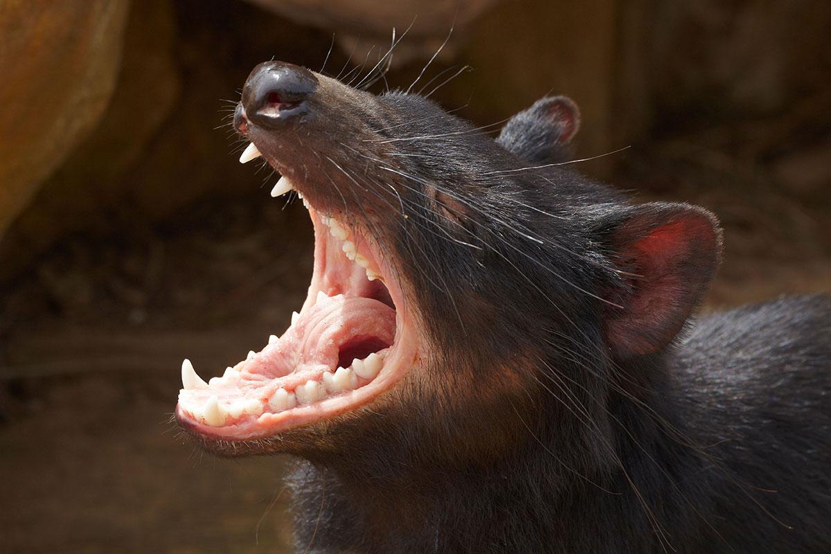 evolution on tasmainian devils