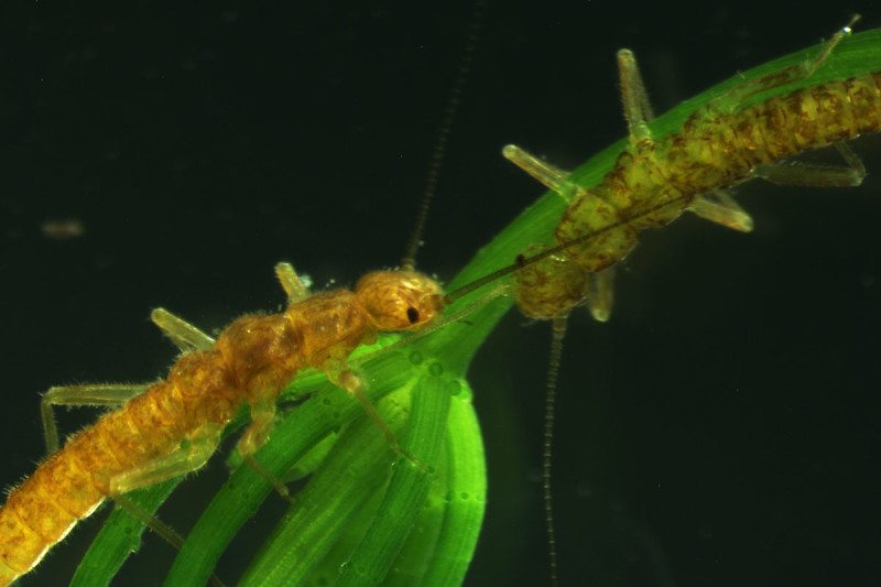 Tahoe-Stoneflies-on-Chara