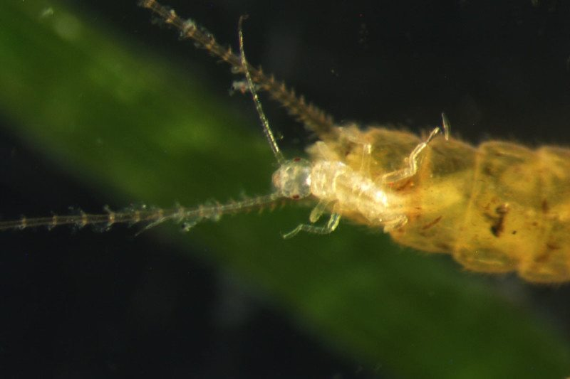 Surprising behaviour: a live stonefly birth