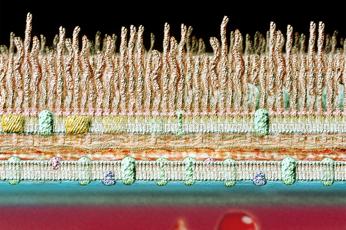 Artwork of bacterium's cell wall, with the exterior at the top