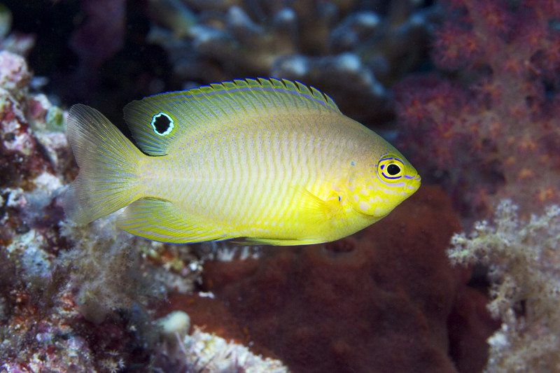 Loud and clear: damselfish have an unusual way of making themselves heard