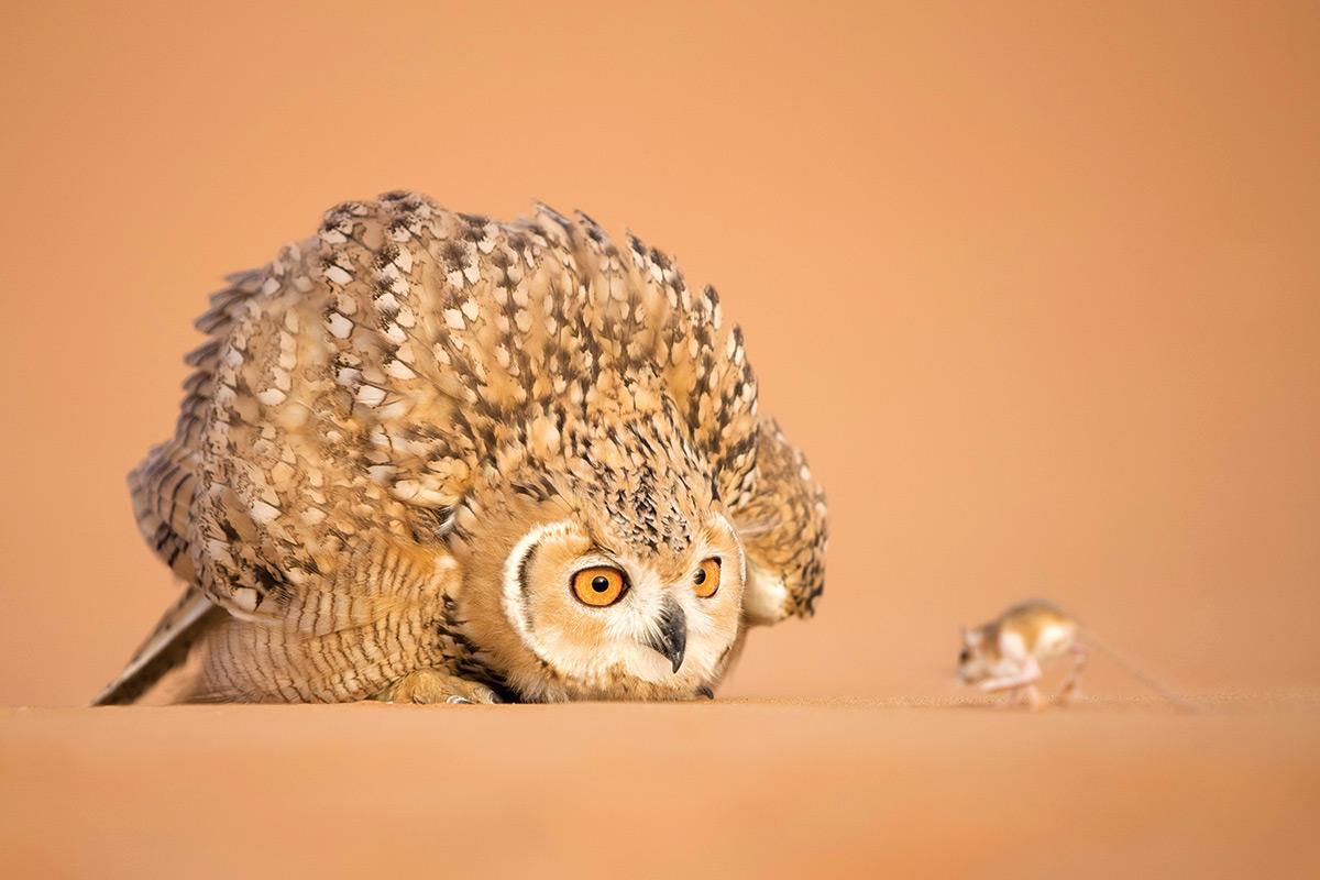 砂漠のキタアフリカワシミミズク