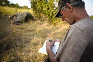 Man takes notes against blurred backdrop showing corpse of large animal in the bush