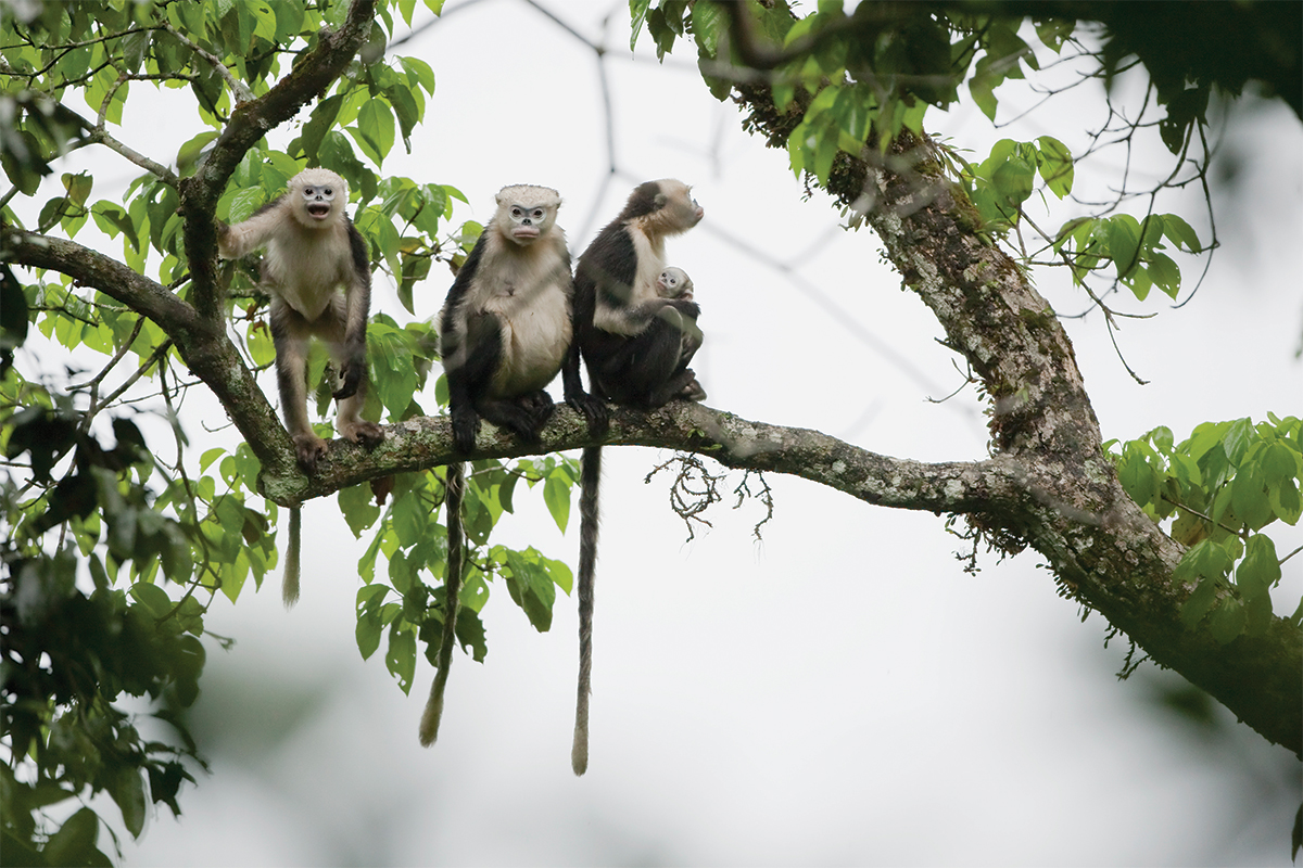 Three snub-nosed monkeys on branch in misty forest