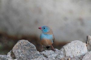 blue-capped cordon-bleu bird