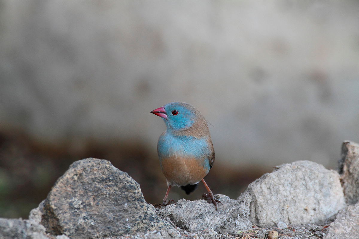 blue-capped cordon-bleu bird
