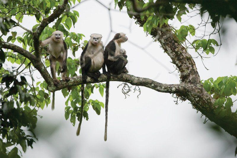 snub-nosed monkeys