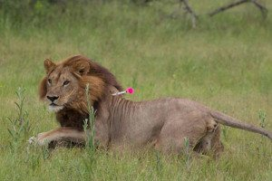 Lioness with dart