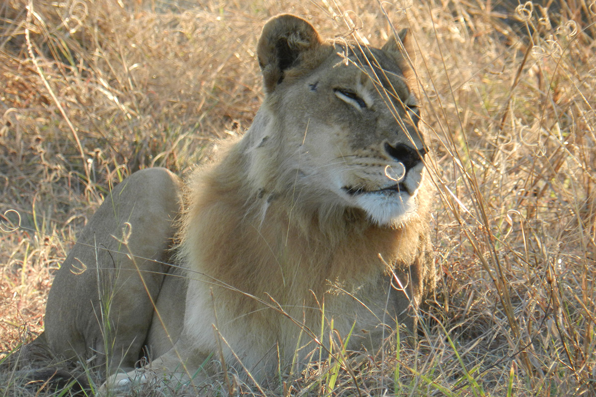 Lioness with shaggy hairs aound neck