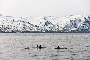 Minke whales off Iceland
