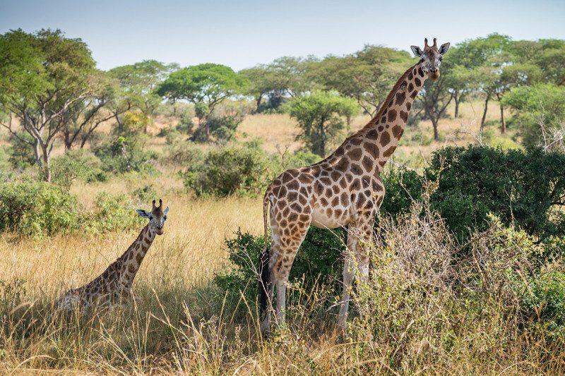 Rothschild's giraffe in Murchison Falls, Uganda