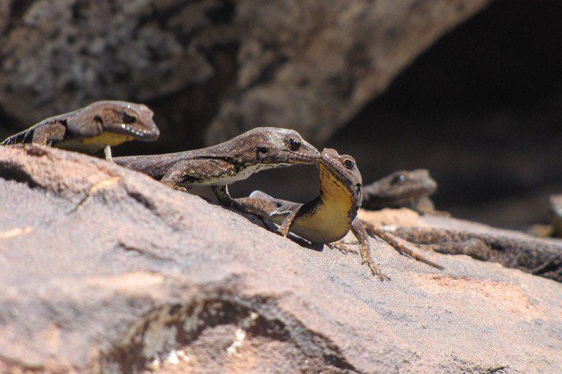 Atlas Day gecko