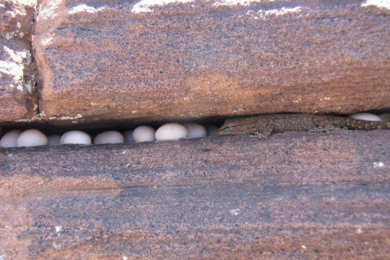 Communal egg-laying