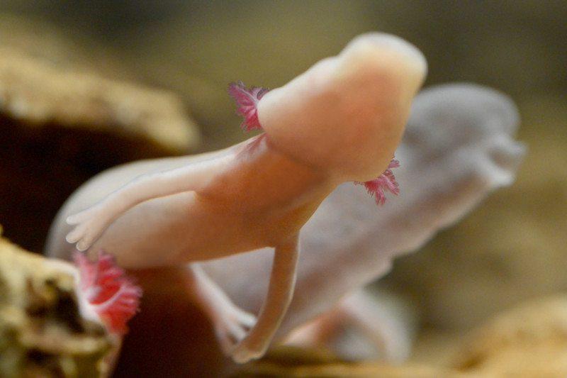 Pink salamander without eyes