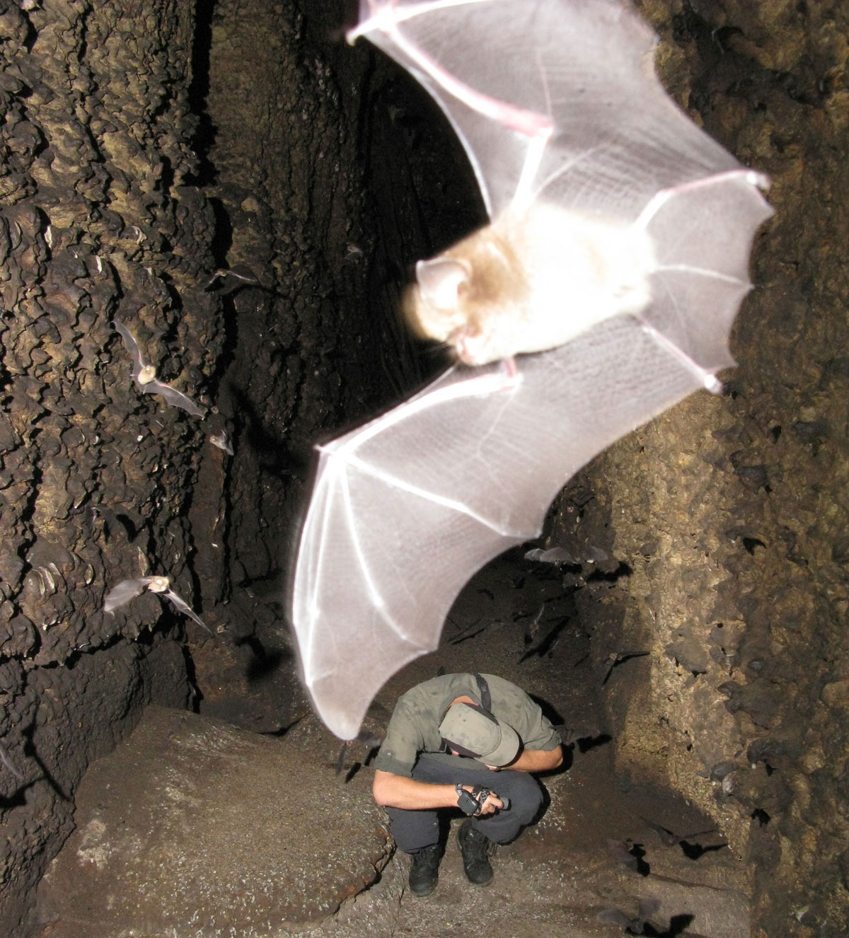 Bats and researcher in cave