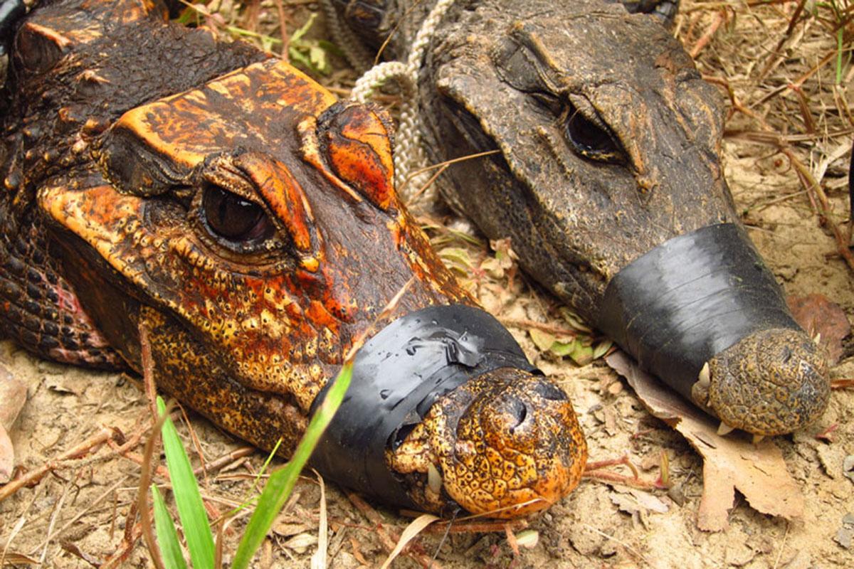 Captured crocodiles