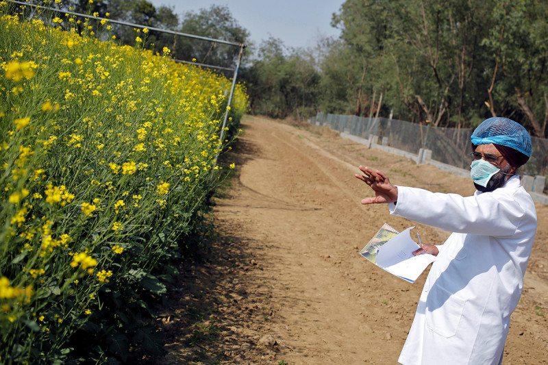 Oilseed rape: