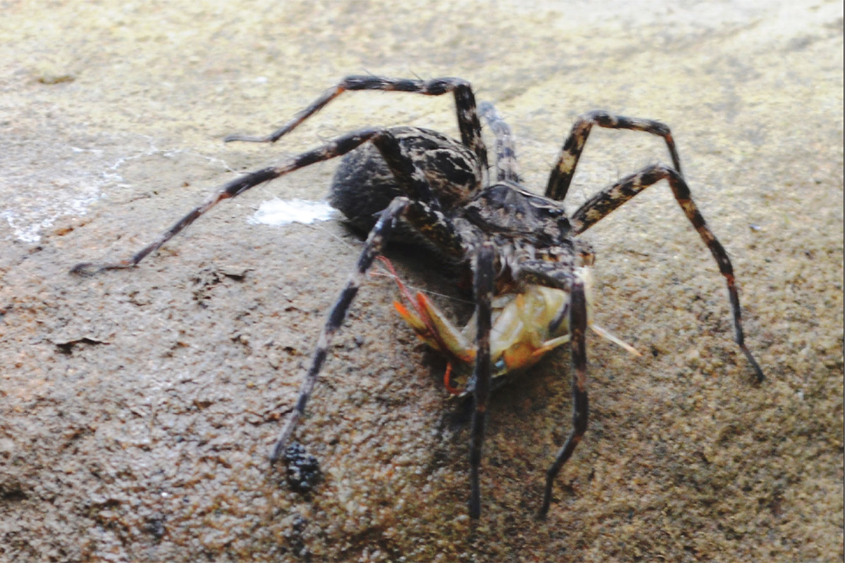 Spider spotted chaining wild crayfish with silk before devouring