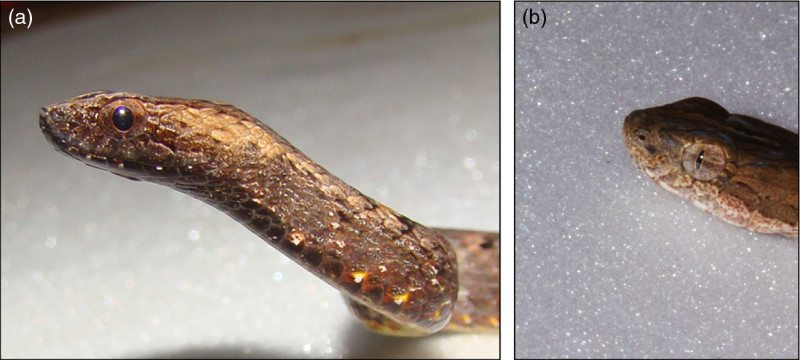 Snake eye mimicry Silva_et_al-2016-Frontiers_in_Ecology_and_the_Environment-1