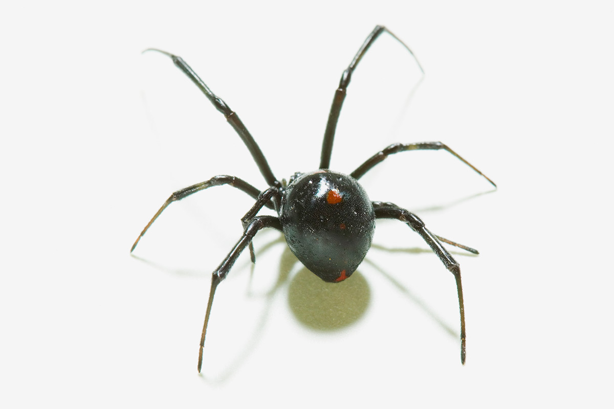 Virus steals black widow poison gene to help it attack | New Scientist