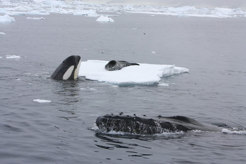 Orca and humpback whales