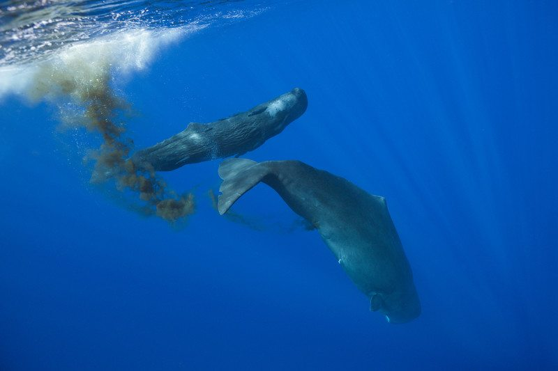 Two whales swimming along, one of them has left a plume of faeces behind it