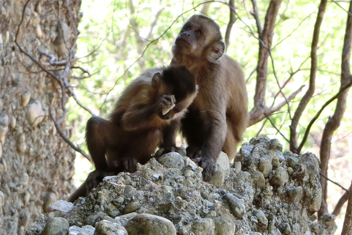 Capuchin monkey hits stone with stone