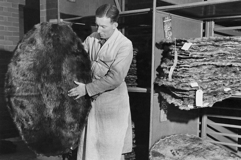 Man looking at beaver pelts in old photograph