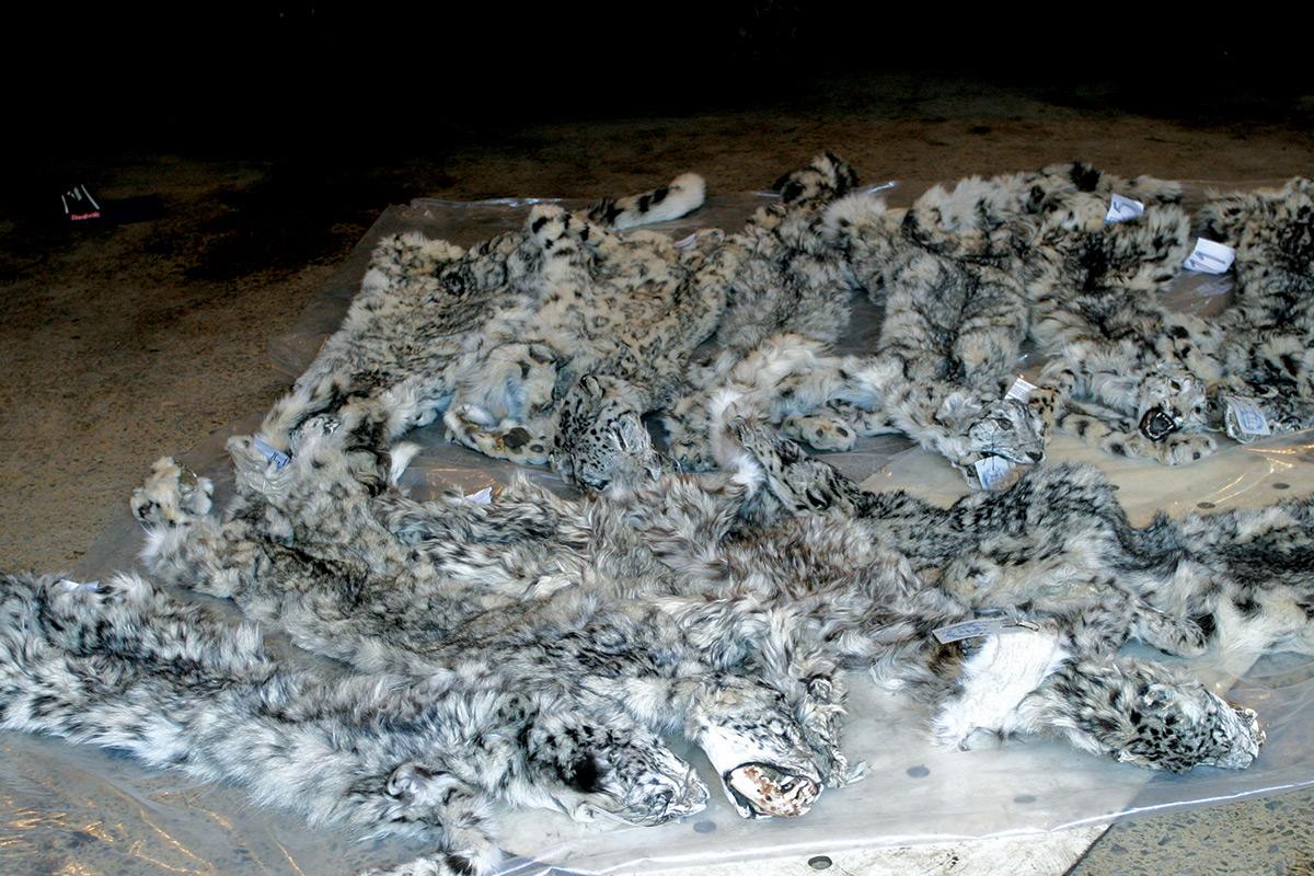 Seized snow leopard pelts