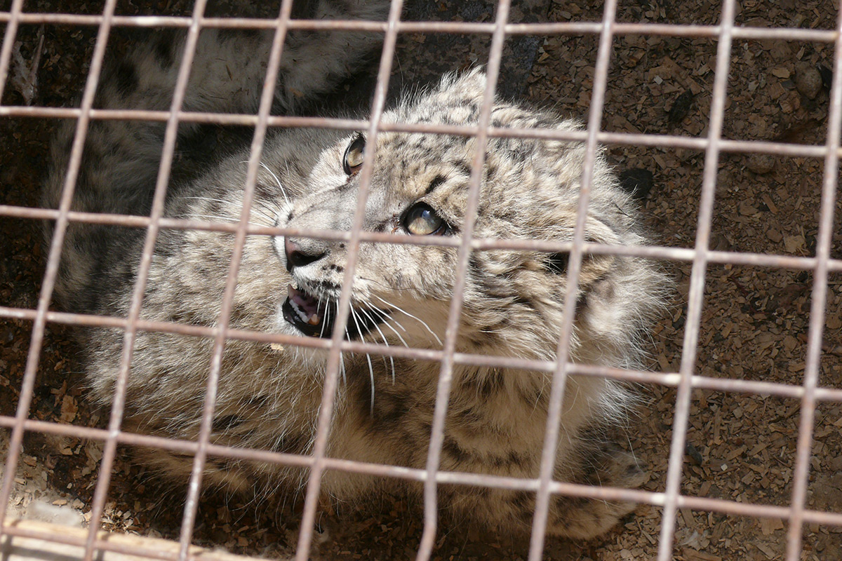 Seized snow leopard cub