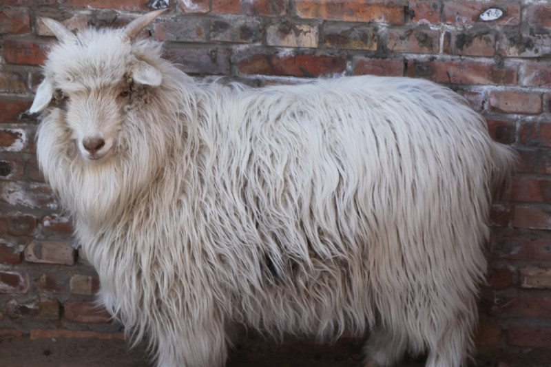 Shaggy goats at one year old
