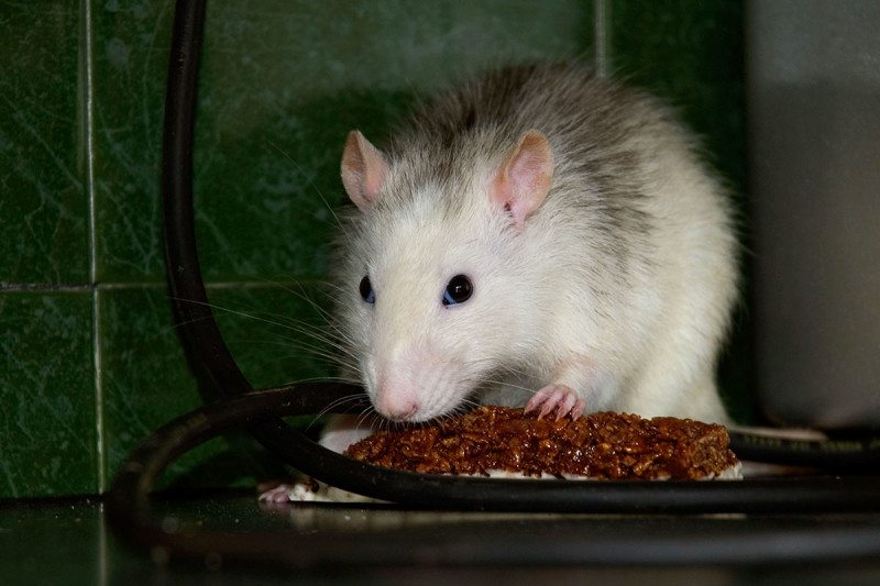 A white rodent eating a chocolate snack