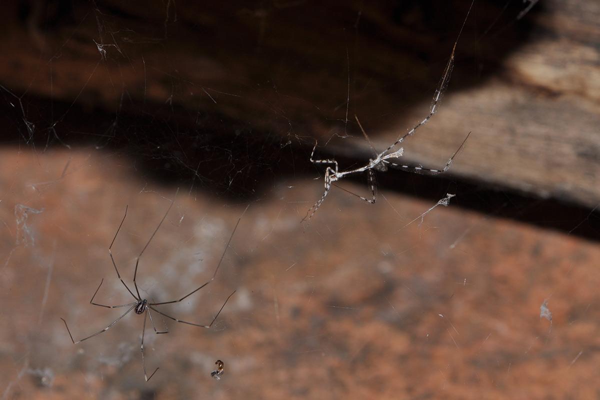 Assassin bug hunting a spider