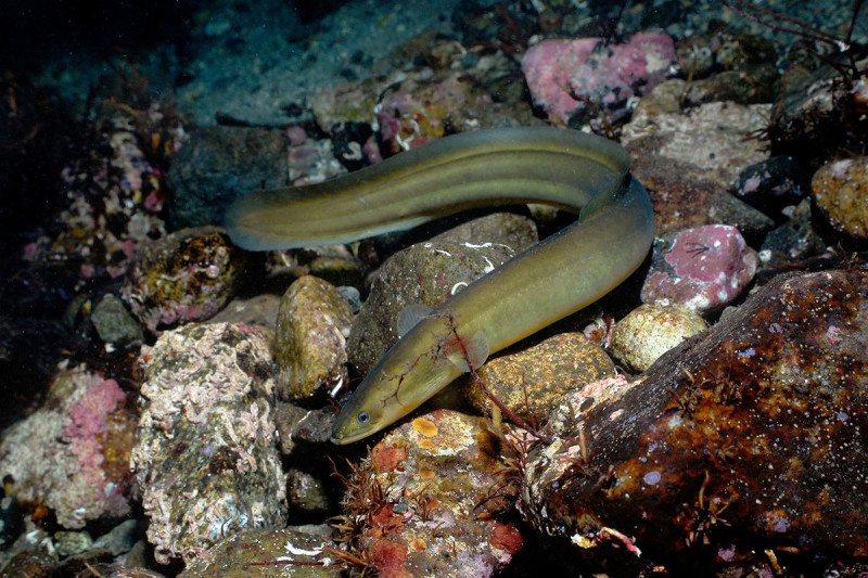 European eels: diseased, overfished