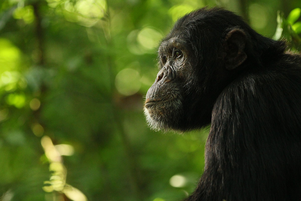 A little less than 1% of the chimpanzee genome is made up of bonobo genes