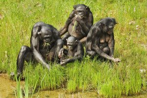 Bonobos (pictured) interbred with chimpanzees in the distant past